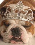 Bigstock_Bulldog_With_Tiara_3904287